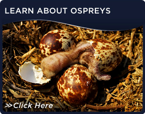 Learn_about_osprey